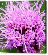 Natures Purple Acrylic Print
