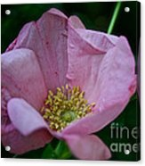 Nearly Spent Rose Acrylic Print
