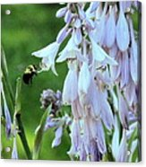 Nectar For The Bumblebee Acrylic Print