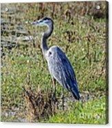 Neighborhood Heron Acrylic Print