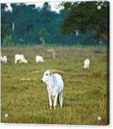Nelore Beef Cattle Acrylic Print