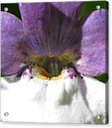 Nemesia From The Tapestry Mix Acrylic Print