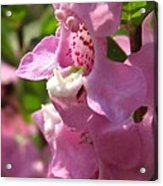 Nemesia Named Poetry Lavender Pink Acrylic Print