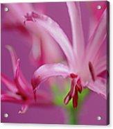 Nerine Flowers Acrylic Print