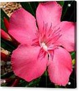 Nerium Oleander Pink Acrylic Print