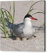 Nesting Common Tern Acrylic Print