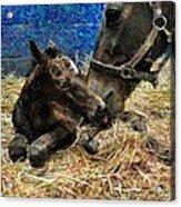New Born Foal Acrylic Print