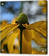 New Cone Flower Acrylic Print