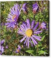 New England Aster Wildflower - Purple Acrylic Print