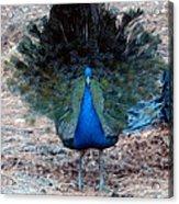 New Feathers Acrylic Print