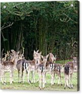 New Forest Deer Acrylic Print by Karen Grist