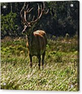 New Zealand Elk Acrylic Print