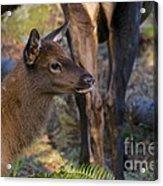 Newborn Elk Acrylic Print