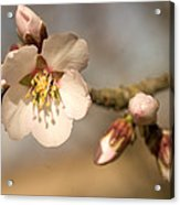 Newly Formed Buds And Flowers Bloom Acrylic Print