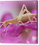 Newly Hatched Insect Acrylic Print by Maureen  McDonald