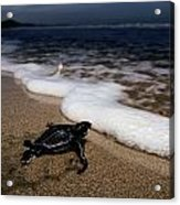 Newly Hatched Leatherback Turtle Acrylic Print