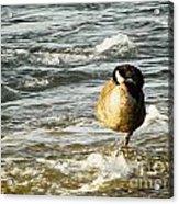 Niagara Duck Acrylic Print