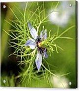 Nigella Flower Acrylic Print