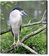 Night Heron On Branch Acrylic Print