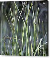Night Walk Through The High Grass Acrylic Print