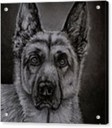 Noble - German Shepherd Dog  Acrylic Print