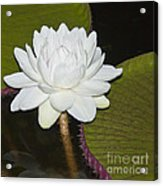 Nocturnal Blossom Of Victoria Lily Acrylic Print