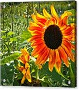 Noontime Sunflowers Acrylic Print