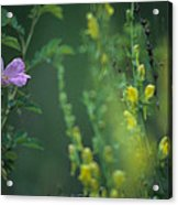 Nootka Rose And Yellow Toadflax Acrylic Print