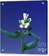 Normal Arabidopsis Plant Acrylic Print