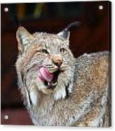 North American Lynx Acrylic Print