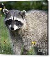 North American Raccoon Acrylic Print