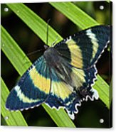 North Queensland Day Moth Alcides Acrylic Print