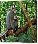 North Sumatran Leaf Monkey Presbytis Acrylic Print
