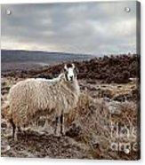 North York Moors Sheep Acrylic Print
