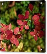 Northern Bilberry Acrylic Print