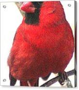 Northern Cardinal Closeup Acrylic Print