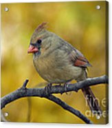 Northern Cardinal Female - D007849-1 Acrylic Print by Daniel Dempster