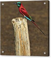 Northern Carmine Bee-eater Acrylic Print by Tony Beck