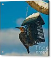 Northern Flicker Acrylic Print by Harry Strharsky