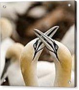 Northern Gannets Morus Bassanus Rubbing Acrylic Print