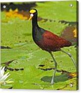 Northern Jacana Acrylic Print
