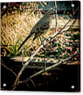 Northern Mockingbird On The Highline Acrylic Print