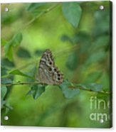 Northern Pearly Eye Butterfly Acrylic Print