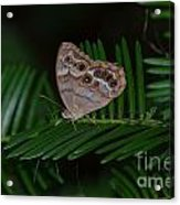 Northern Pearly Eye Acrylic Print
