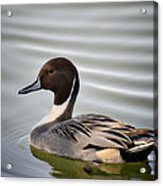 Northern Pintail Duck  Acrylic Print