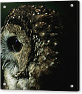 Northern Spotted Owl Strix Occidentalis Acrylic Print