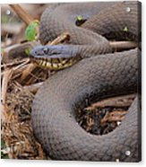 Northern Water Snake  Acrylic Print