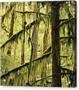 Northwest Mossy Tree Acrylic Print