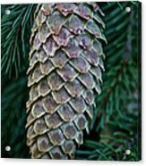Norway Spruce Cone Acrylic Print