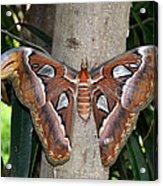Not A Butterfly But An Atlas Moth Acrylic Print